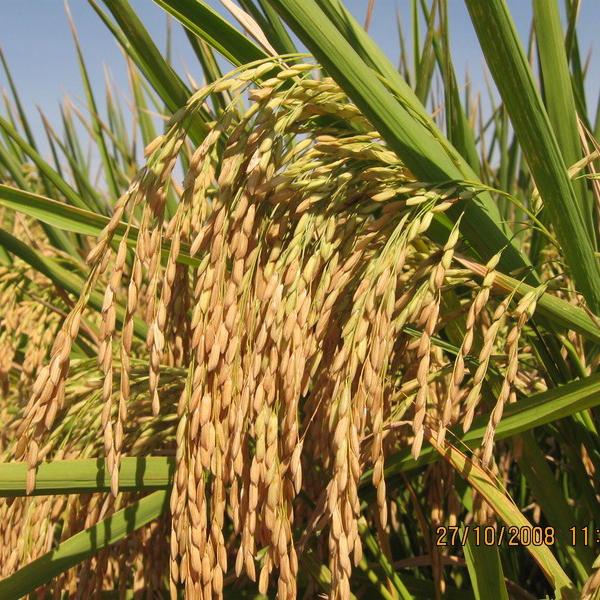 这是第5张柬埔寨【进口】'沃香情'茉莉香米一件代发的货源图片